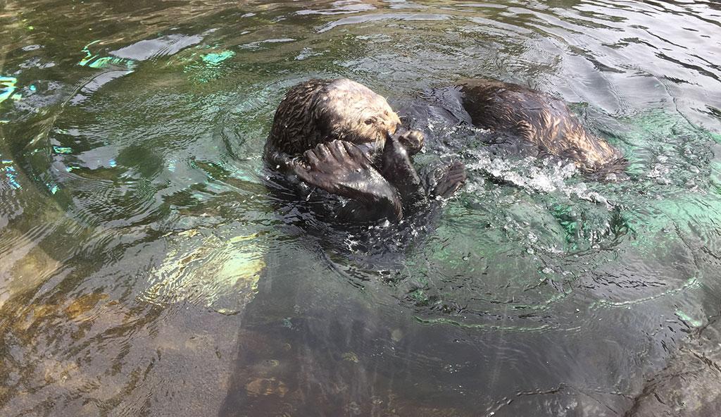 Aquarium Otter