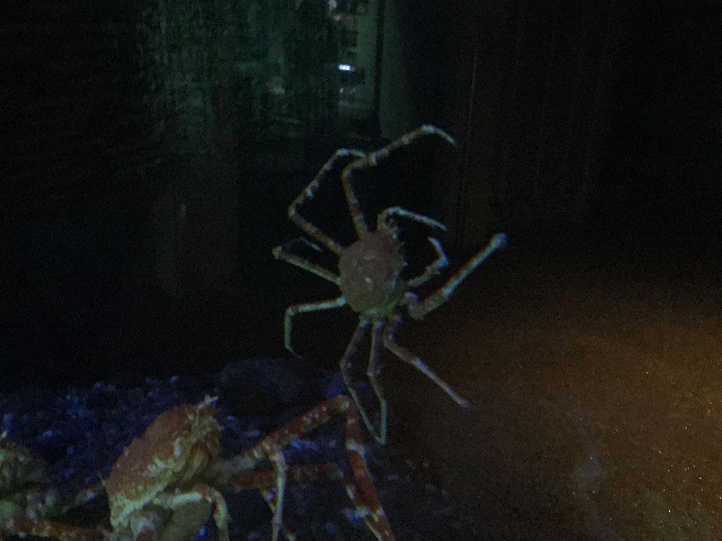 Aquarium Japanese Spider Crabs